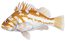 Copper rockfish fishid2 thumb
