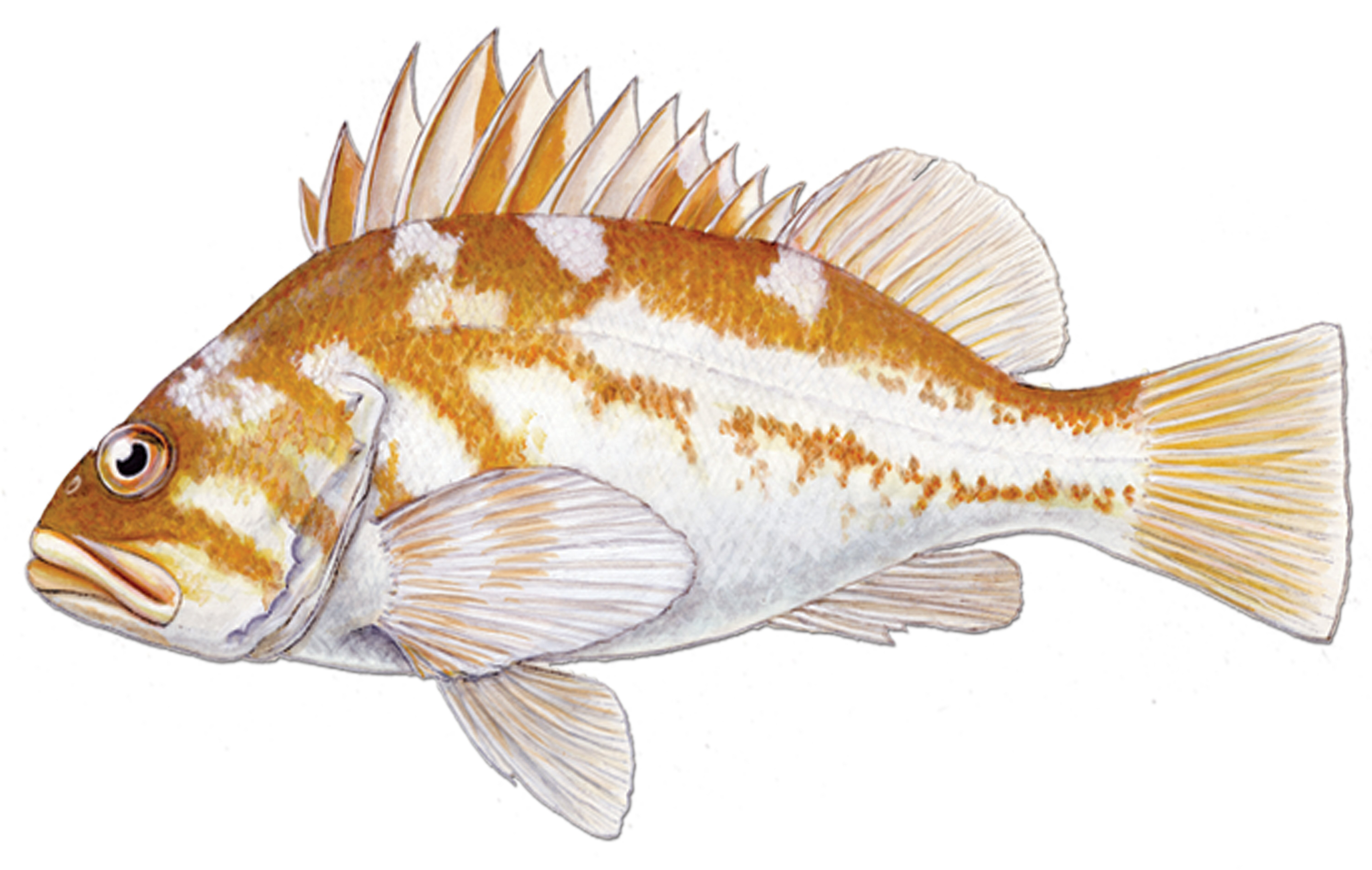 Copper_rockfish_fishid2